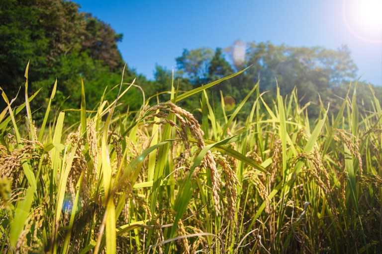 rice-1121001_1920
